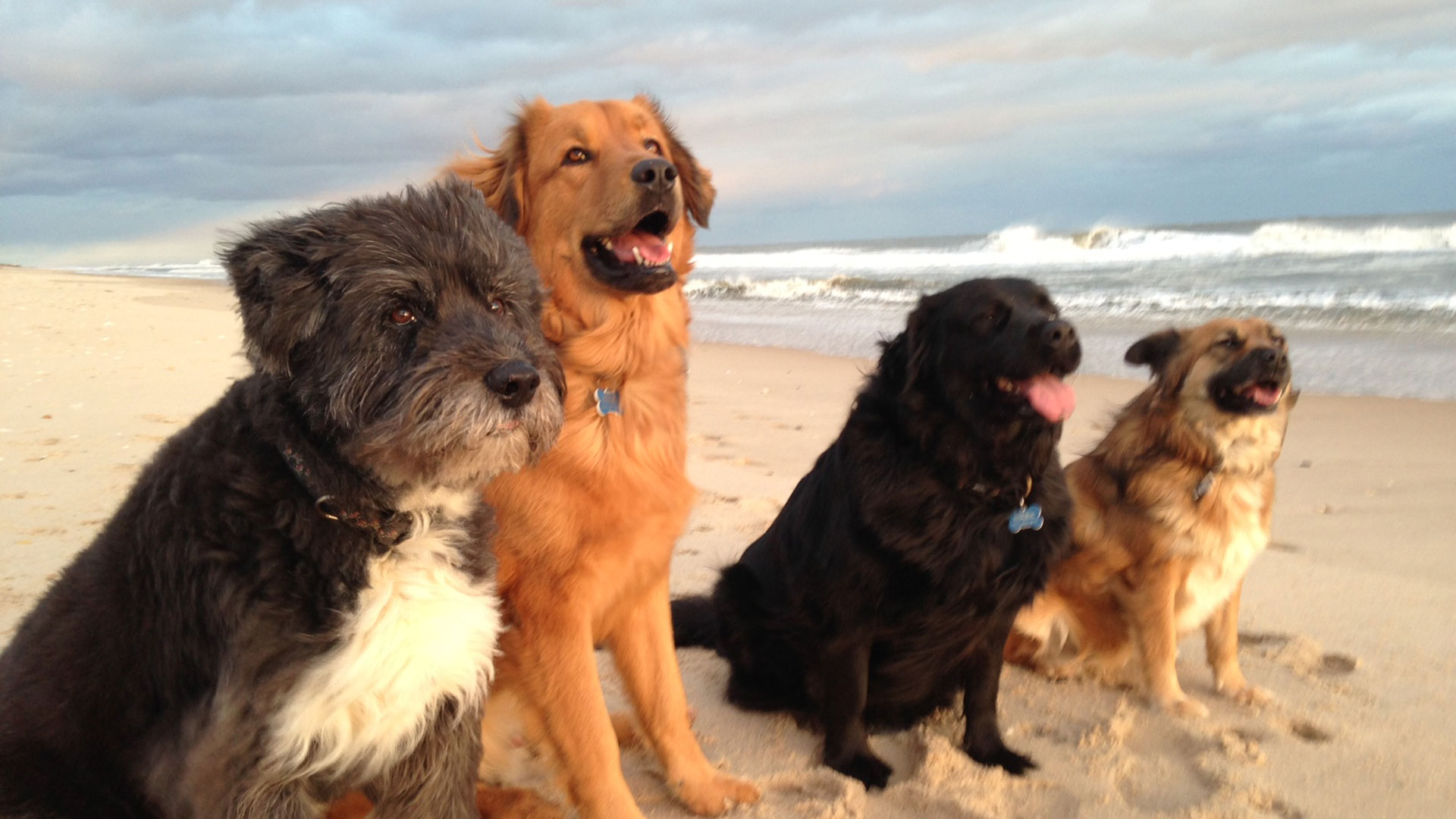 My 4 dogs on beach 15